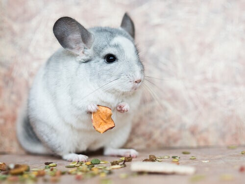 Caring for chinchillas diet.