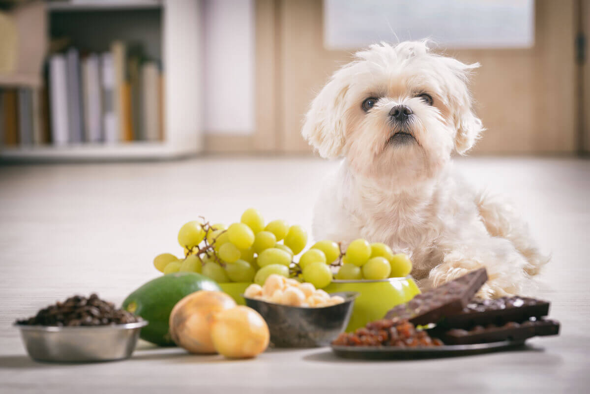 A small white dog lying in front of a variety of fruts, vegetables and grains.