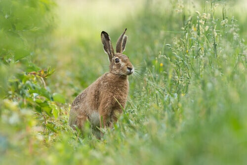 6 Species of Hare