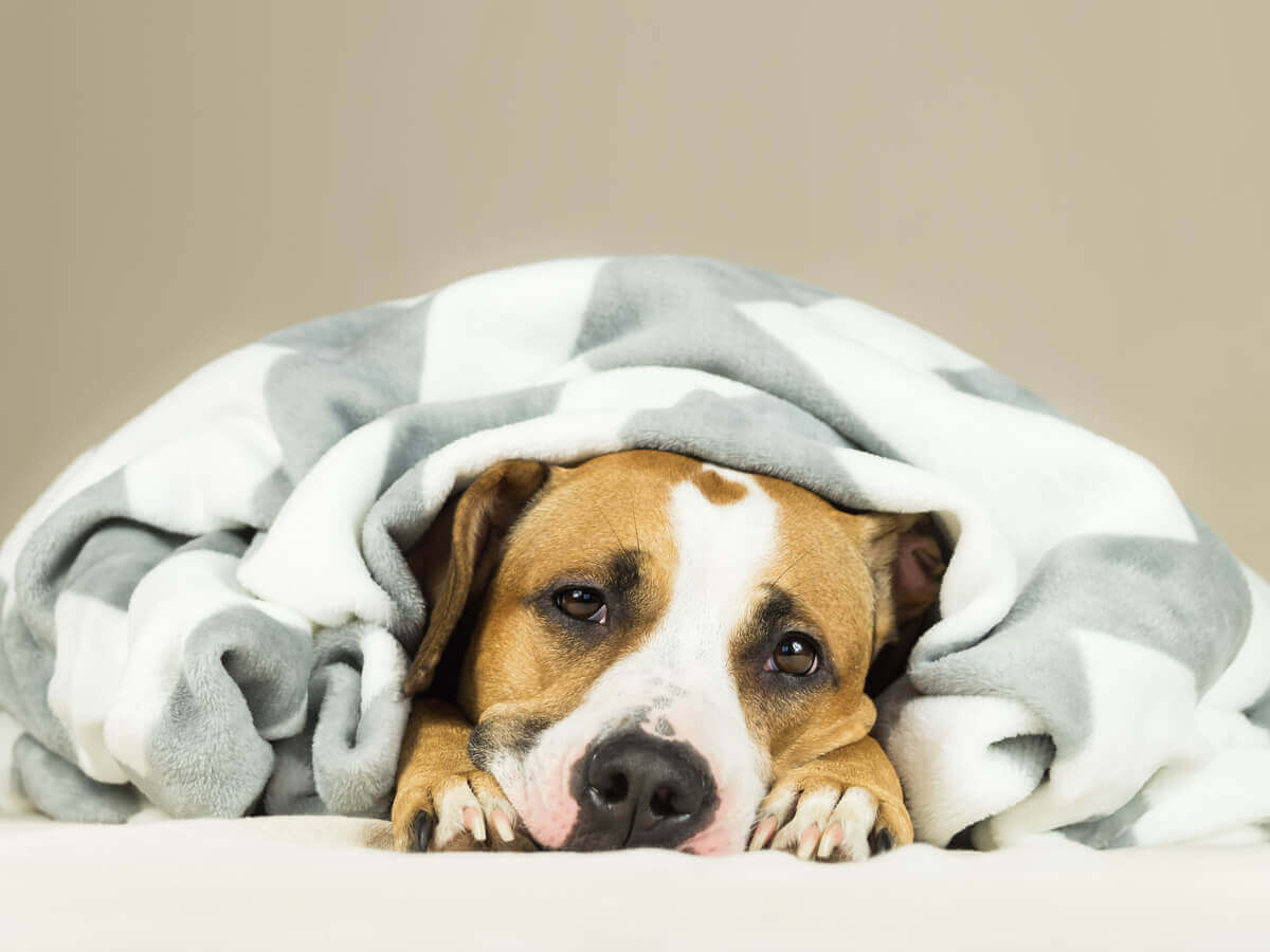A tired dog lying under a blanket.