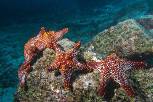 Characteristics and Habits of Sea Stars