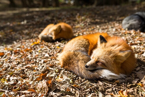 Spanish red foxes sleeping in the forest.