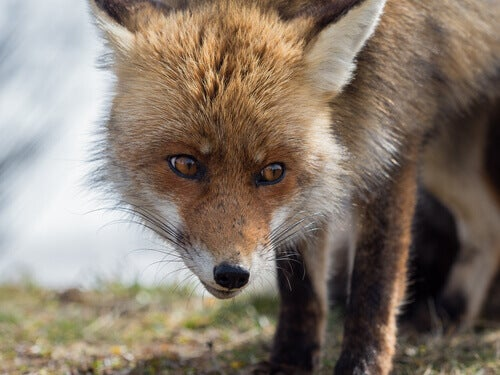 The Spanish Red Fox