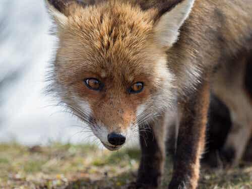 The Spanish Red Fox