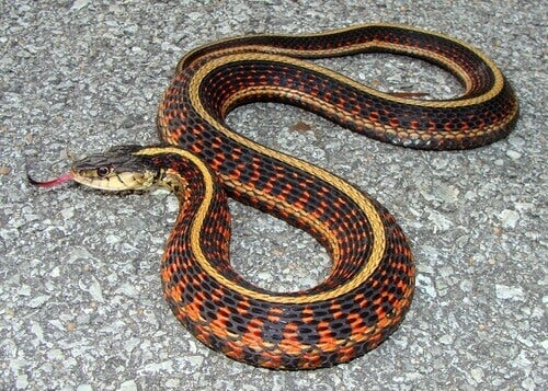 A garter snake with its tongue out.