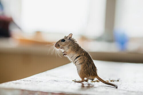 A mouse standing up.