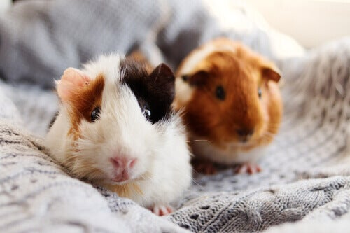 Two guinea pigs on a blanket.