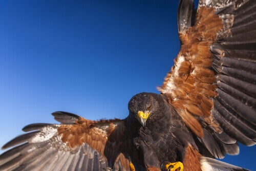 Harris's Hawk: The Wolves of the Air