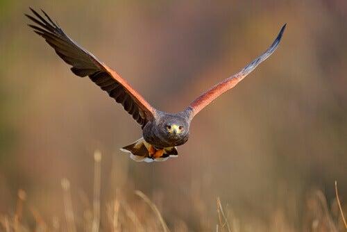 Harris's hawk flying.