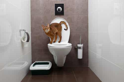 Incontinence in Cats: What You Need to Know