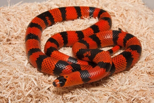 A red and black Lampropeltis triangulum.