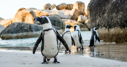 Four penguins on the beach.
