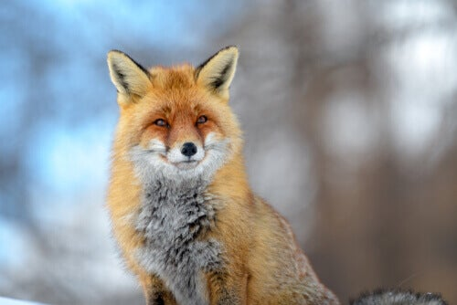 A red fox in the woods.