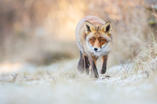 A red fox walking in the snow.