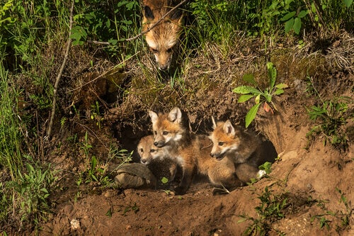 A mother fox guarding her den with 3 babies.
