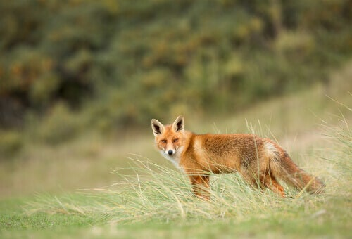 The Red Fox: All About this Species