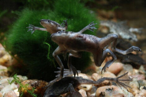 Two African dwarf frogs in an aquarium.