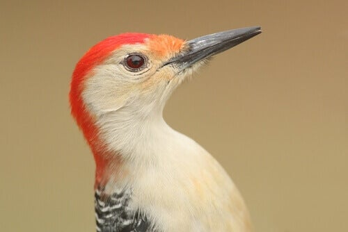 The head of a woodpecker.
