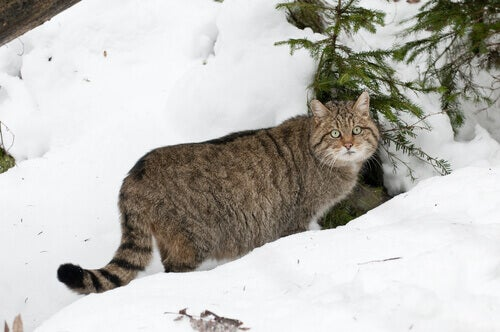 A wildcat in the snow.
