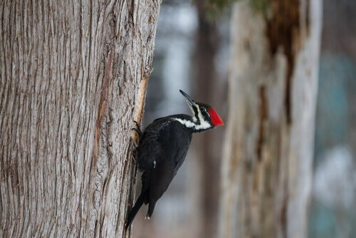 A black and white woodpecker with a red crest pecking at a tree.