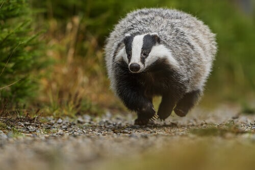 A badger running on a pebble path along a pine forest.