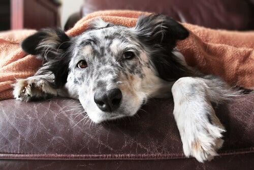 An old Border Collie under a blanket.