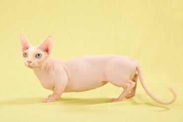 Bambino Cats: Bald and Short-legged