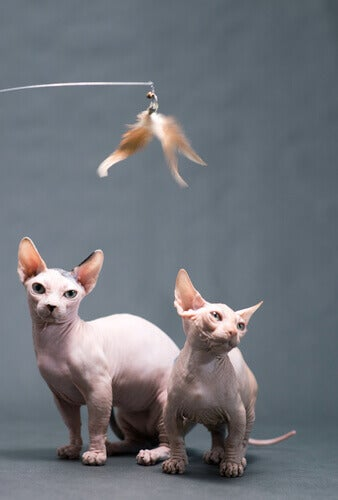 Bambino cats playing with a feather toy.