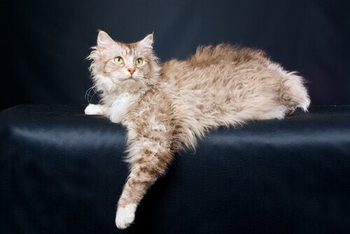 LaPerm Cat, a Kitten With Curly Hair