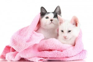Cats in a blanket.