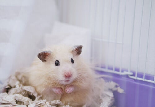 Domestic hamster breed.
