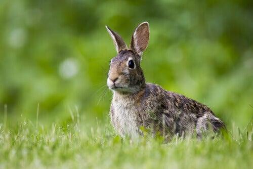 A nervous rabbit crouches on grass.