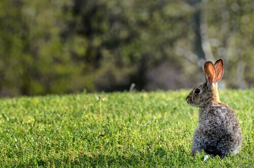 What Happened with Australia's Rabbits?