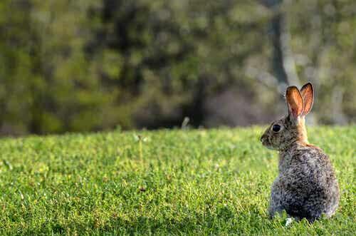 What Happened with Australia's Rabbits?