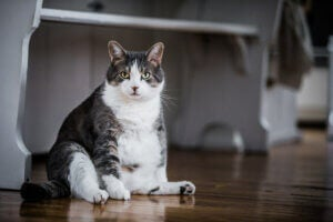 Obese cat with special needs.