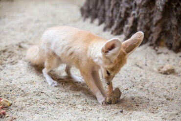 Is It a Good Idea to Have a Fennec Fox as a Pet?
