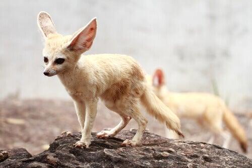 Crepuscular fox or fennec fox: traits.
