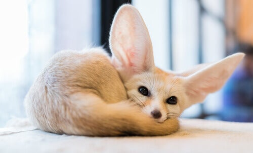 A fennec fox curled up.