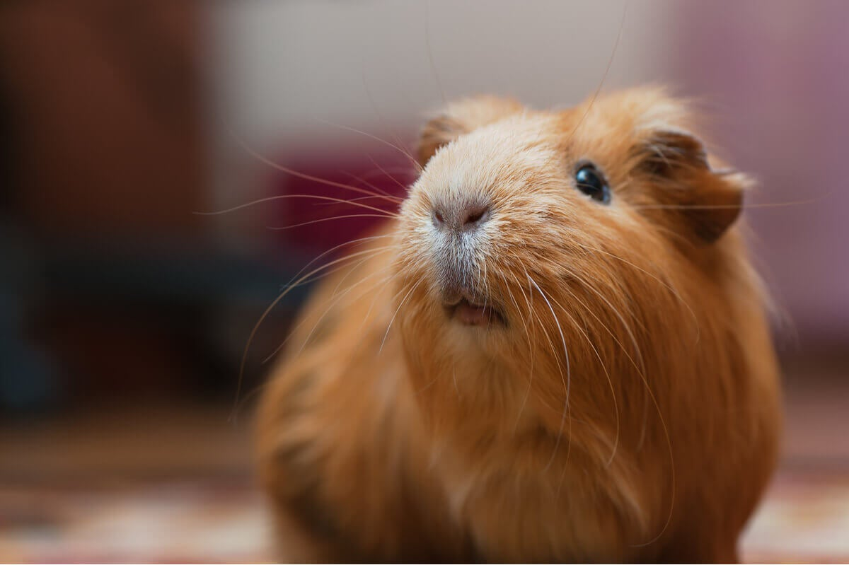A close-up of a brown guinea pig.