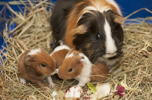 Guinea pig mother and young eating.
