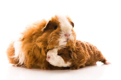 Everything About the Guinea Pig's Pregnancy