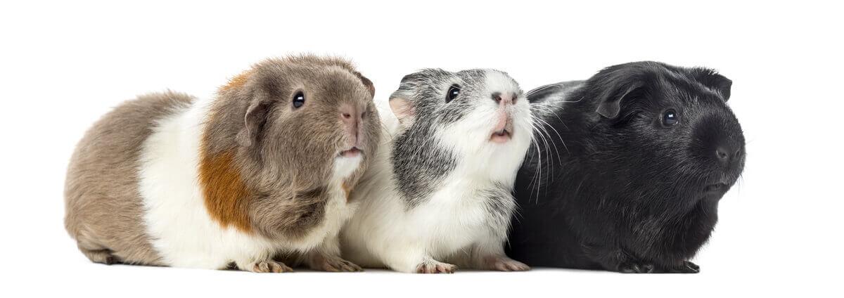 Three guinea pigs posing.