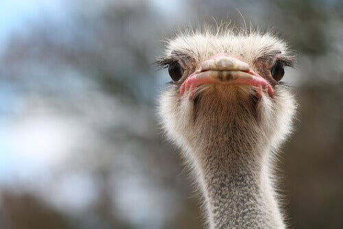 Differences Between Rhea and Ostrich
