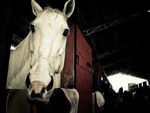 A white horse.