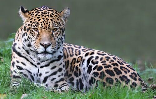 Jaguar sitting on grass.