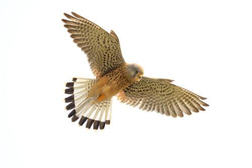 A kestrel in flight.