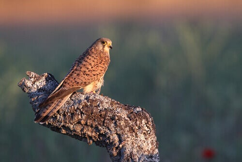 All About the European Kestrel