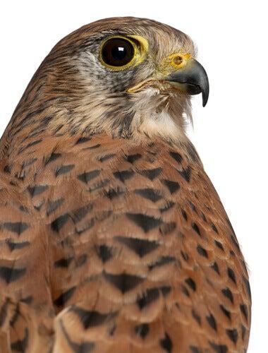 A close-up of a kestrel.