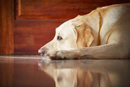Labrador Retriever lying down.