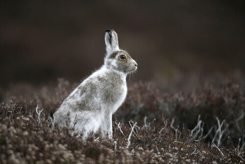 Mountain hare: a species of hare also known as blue hare or tundra hare.